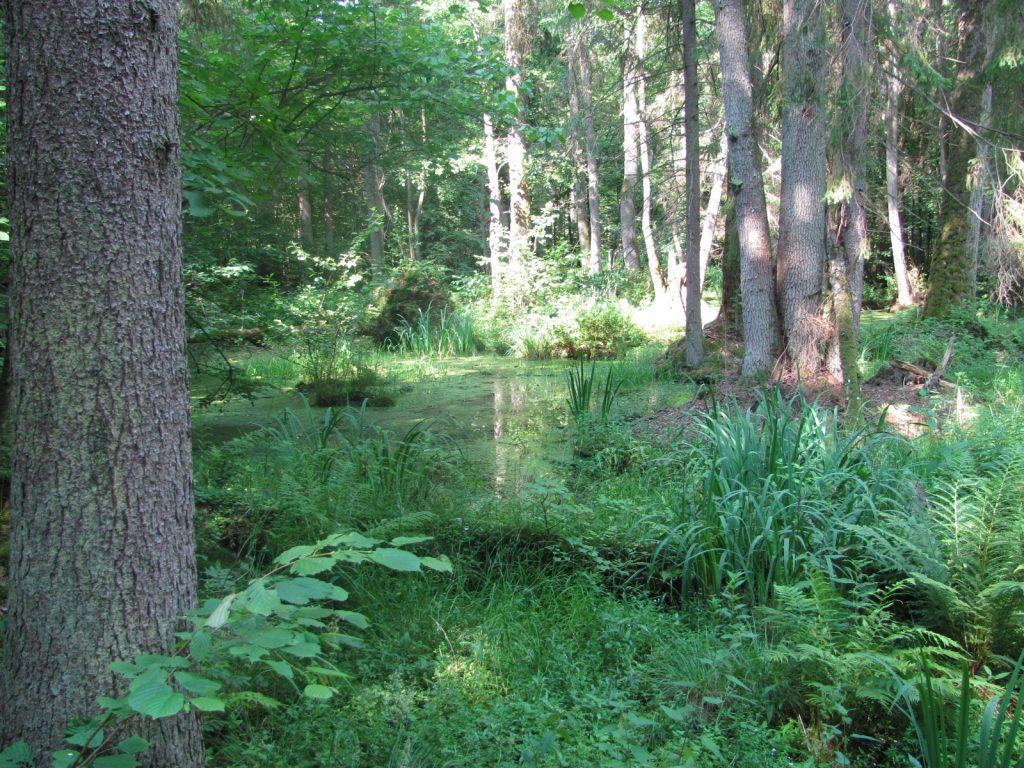 Erlenbruchwald in Polen