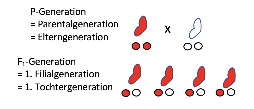 Schön Kapitel 12 Muster Der Vererbung Und Humangenetik Arbeitsblatt ...