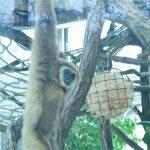 Gibbon-Männchen
