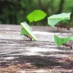 Ameisen-GERS